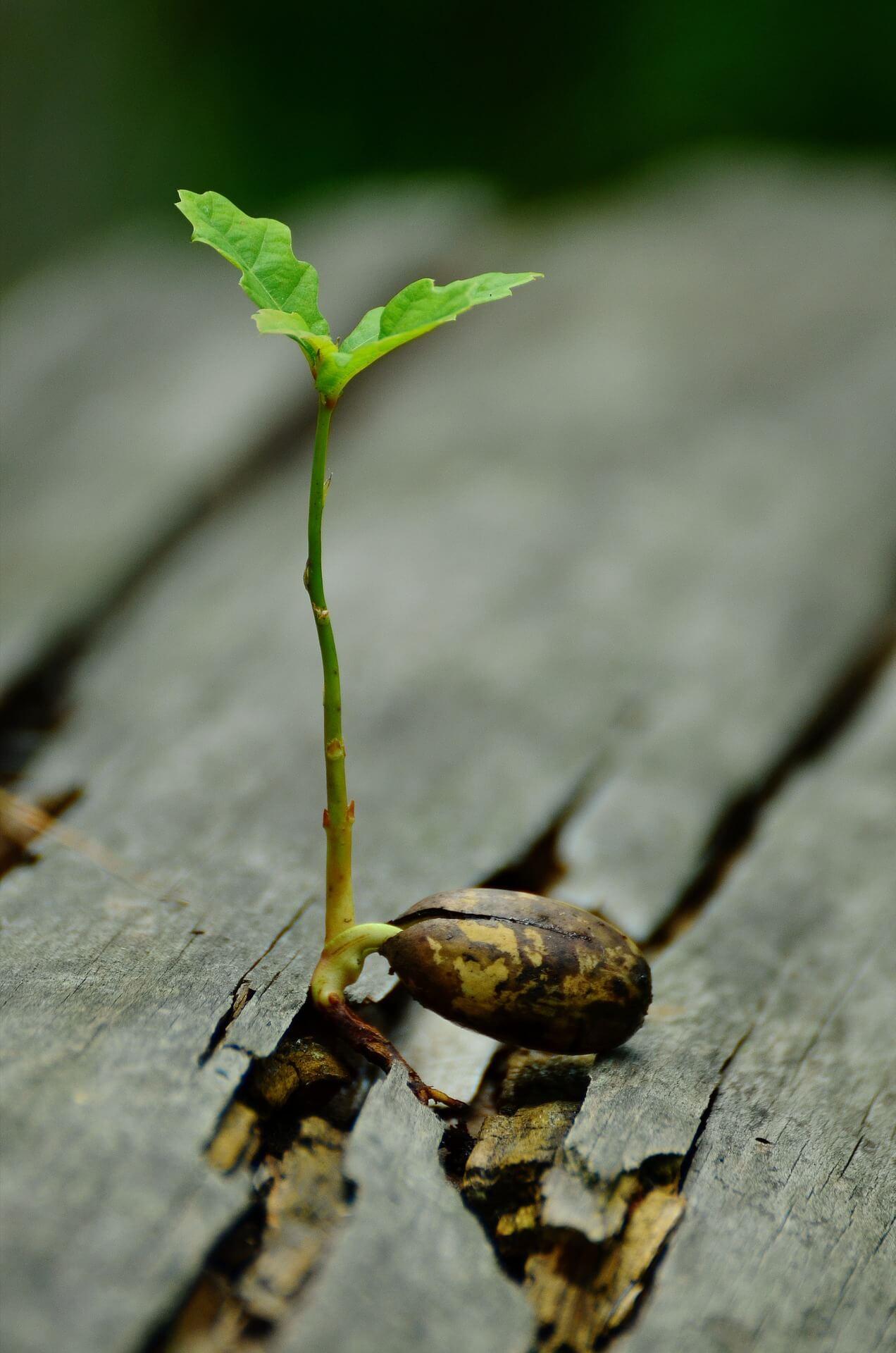 Eichen Keimling wächst auf Holz